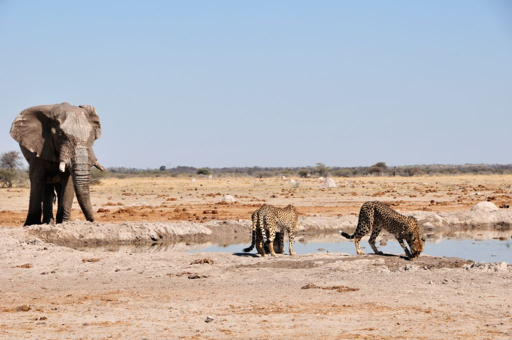 An elephant stares at three cheetah nearby a water hole in Nxai Pan National Park, central Botswana on Aug. 10, 2015. The Nxai Pan National Park comprises several ...