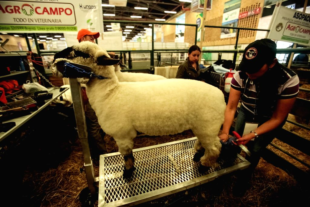 An employee prepares a sheep during the Agroexpo fair in Bogota, Colombia, on July 11, 2015. The Agroexpo fair, which runs from July 9 to July 20, is expected to ...