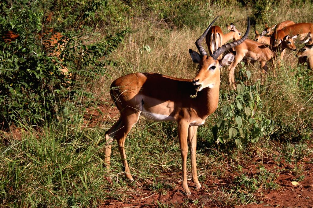 An impala eats in Akagera National Park, eastern Rwanda, on Feb. 13, 2018. Akagera National Park is Rwanda's only protected savannah region with a ...