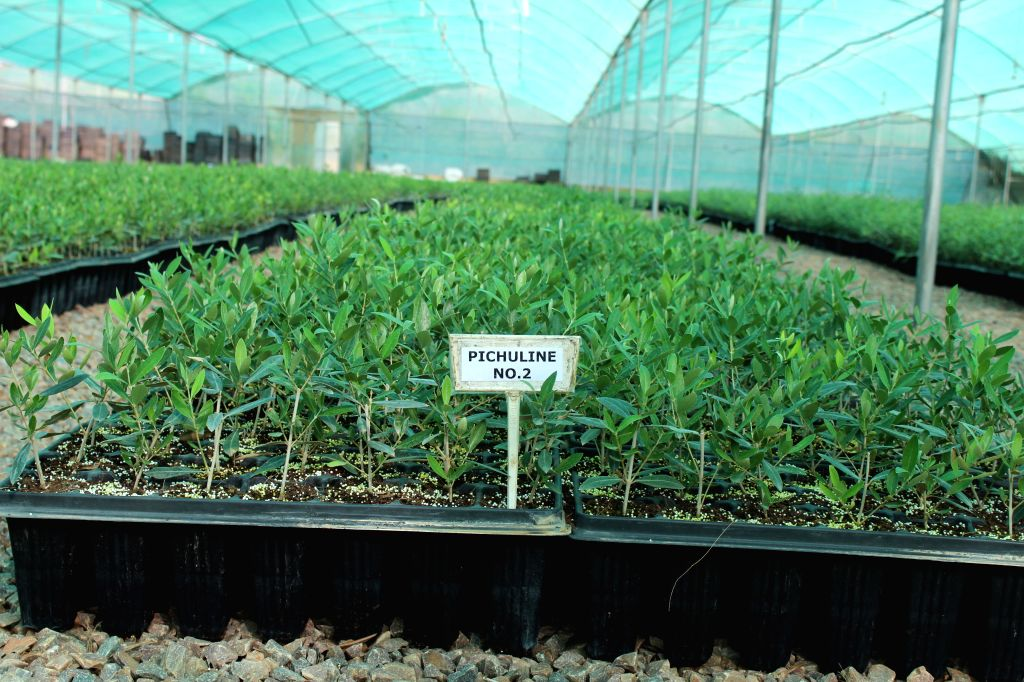 An Olive variety saplings in hardening stage. They will be planted in fields later.