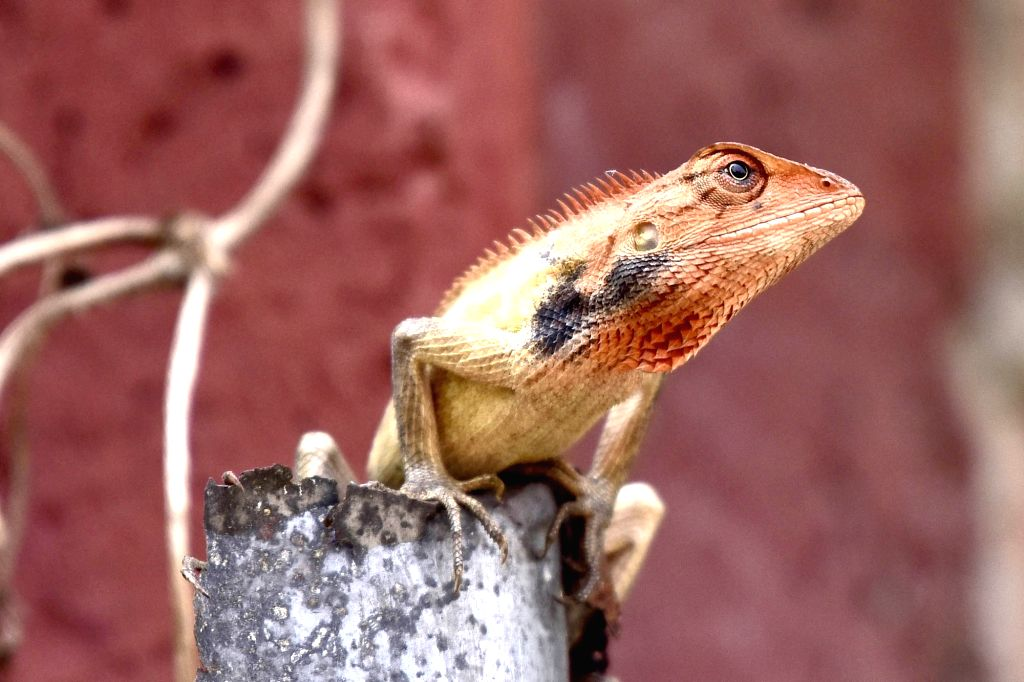 An Oriental garden lizard looks for a prey at a park in Guwahati, on March 15, 2019.