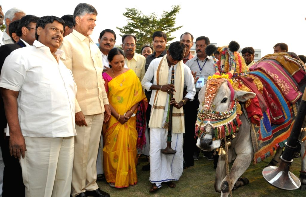Andhra Pradesh Chief Minister N. Chandrababu Naidu celebrates on the eve of Makar Sankranti in Vijayawada, Andhra Pradesh on Jan 14, 2016. - N. Chandrababu Naidu