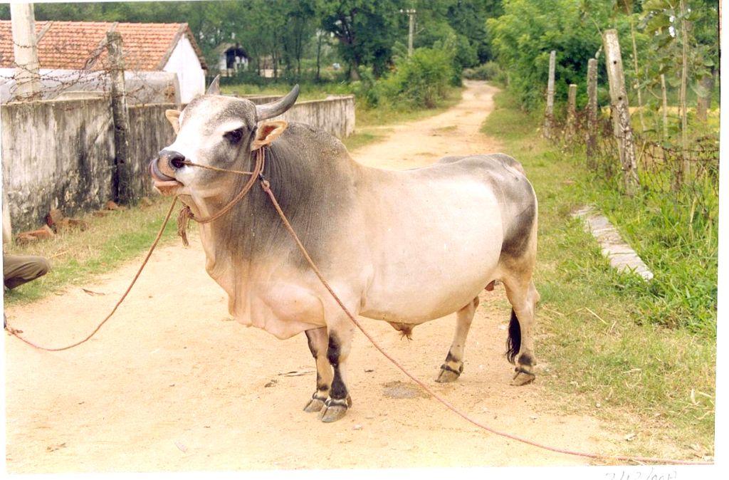 Andhra's 'Mission Punganuru' to multiply dwindling dwarf cow