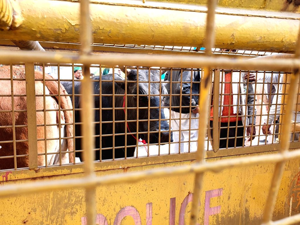 Animals join the protest against agricultural laws by farmers, tied to barricades and fed fodder