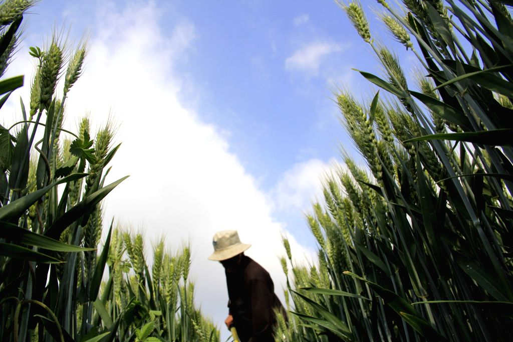 A farmer works in the wheat fields Neihuang County of Anyang City, central China's Henan Province, May 11, 2014.