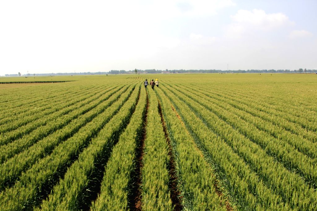 Farmers work in the wheat fields in Neihuang County of Anyang City, central China's Henan Province, May 11, 2014.