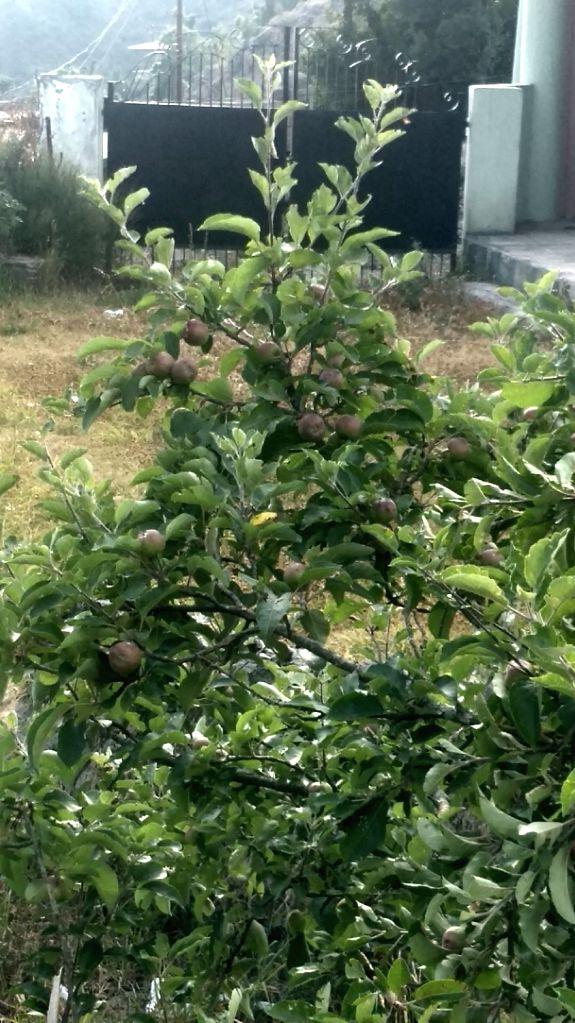 Apple tree. (Photo: IANS)