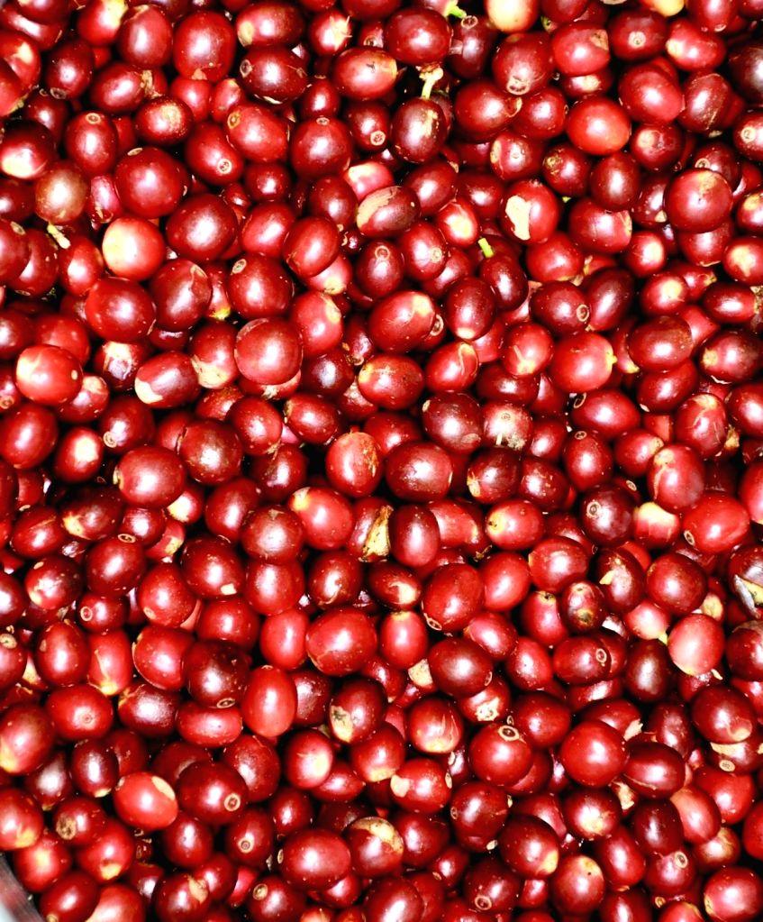 Araku coffee-Red cherries.