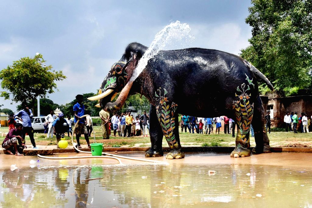 Arjuna, the 59-year old Dasara elephant that has been carrying the 'Golden Howdah' since 2012, being bathed by its mahout post the inauguration of Jumboo Savari, in Mysuru on Oct 9, 2019.