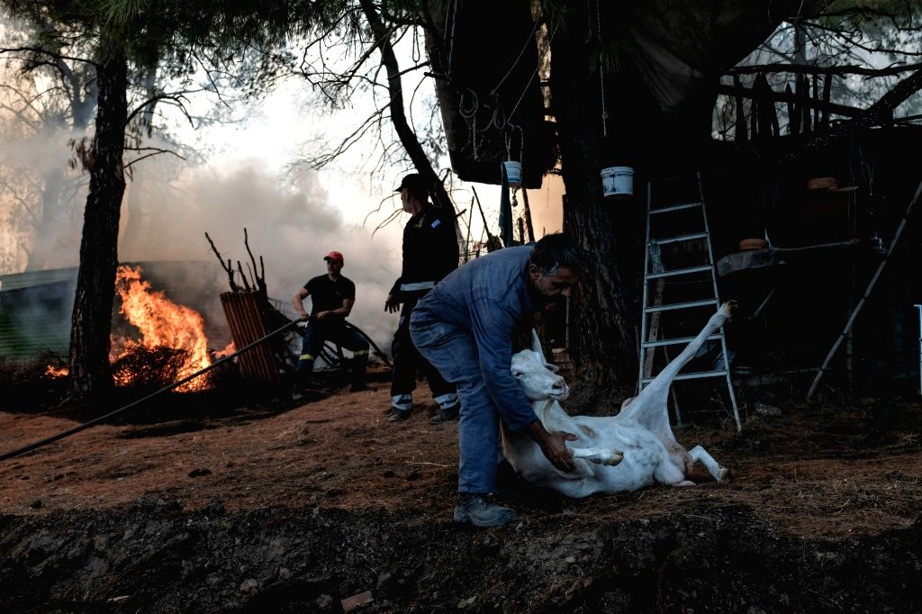 ATHENS, Aug. 15, 2019 (Xinhua) -- Fire fighters and volunteers evacuate livestock as a raging blaze burns at Makrymalli village, on Evia island, Greece, on Aug. 14, 2019. Amid ongoing efforts to extinguish a destructive wildfire, Greek Prime Minister - Kyriakos Mitsotakis