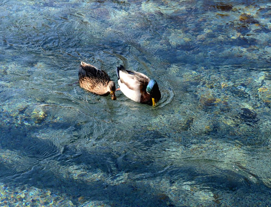 Australia's platypus 'on brink of extinction'