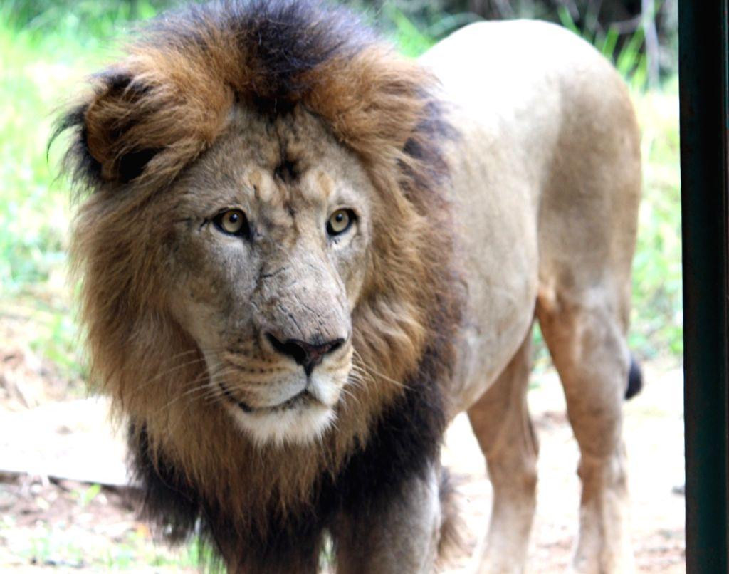 "B'LORE ON: ""Bengaluru zoo gifts 3 lions to Belagavi in north Karnataka."