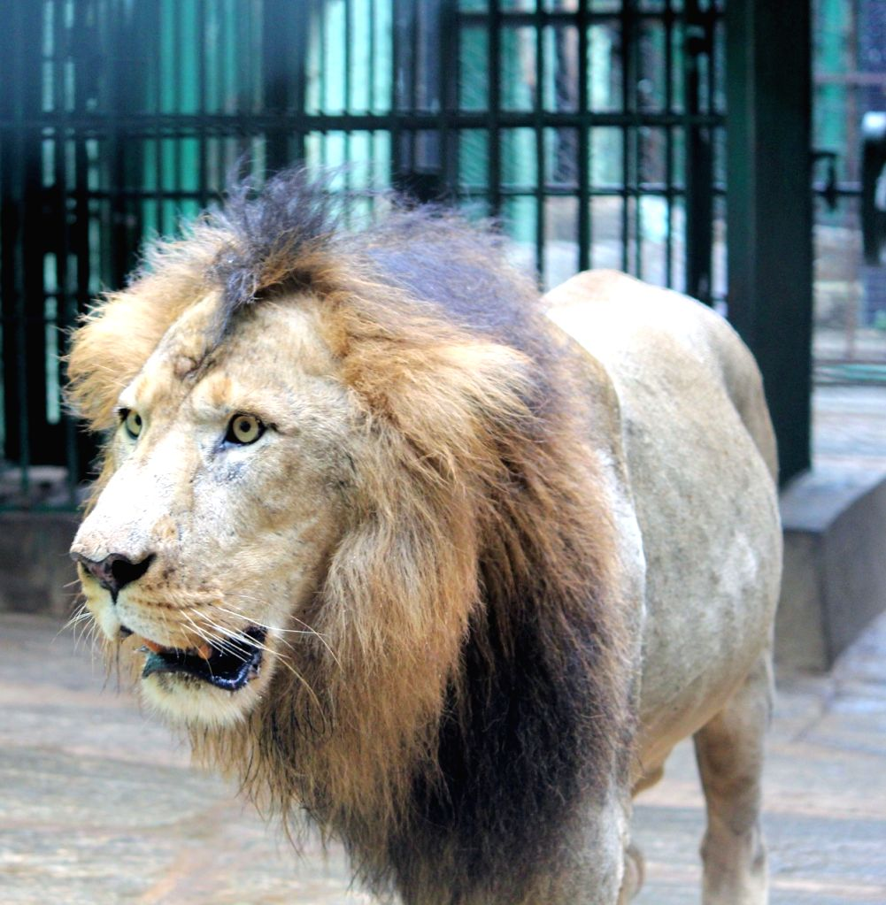 "B'LORE ON: ""Bengaluru zoo gifts 3 lions to Belagavi in north Karnataka."
