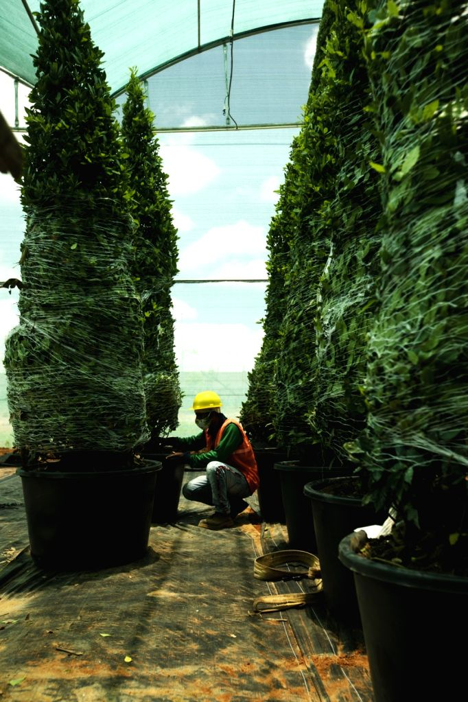 B???luru airport acquires centuries-old exotic trees for beautification