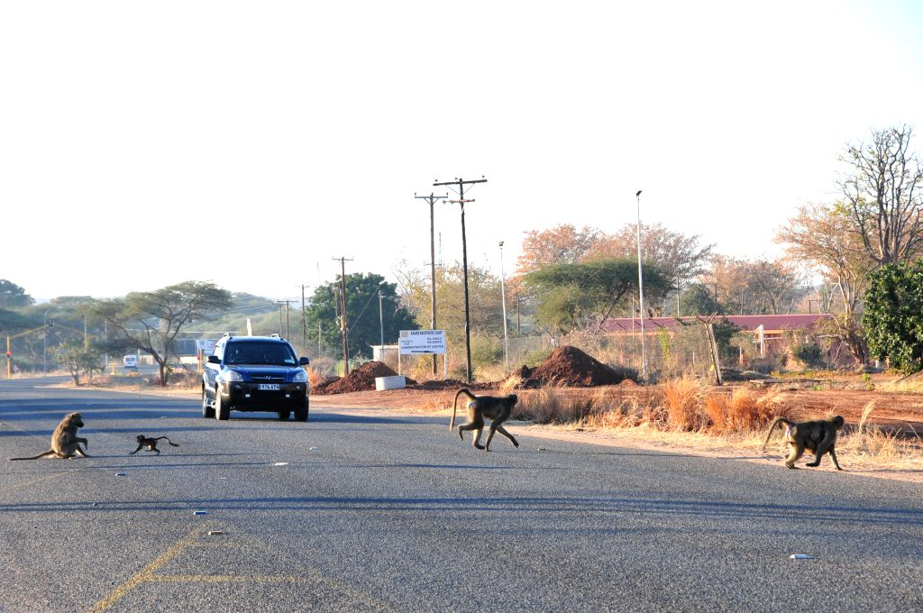 Baboons run across the road to avoid a car coming at them in Kasane, northern Botswana, on Aug. 8, 2015. Most of Botswana national parks, reserves and wildlife ...