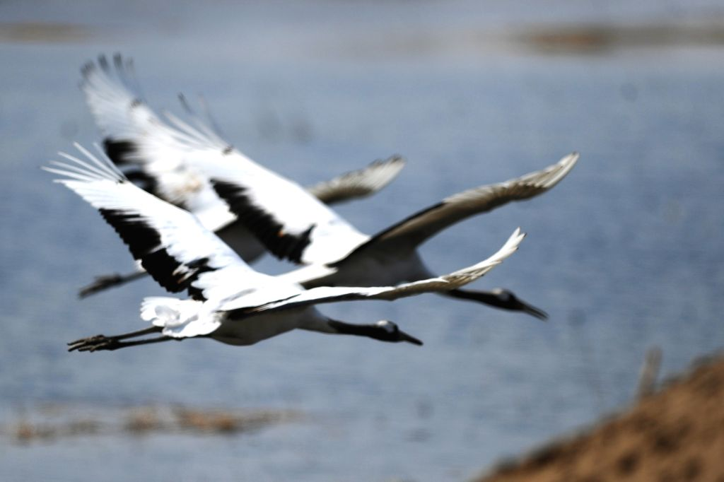Red-crowned cranes fly over a lake at the Xianghai National Nature Reserve in Tongyu County of Baicheng City, northeast China's Jilin Province, April 15, 2014.