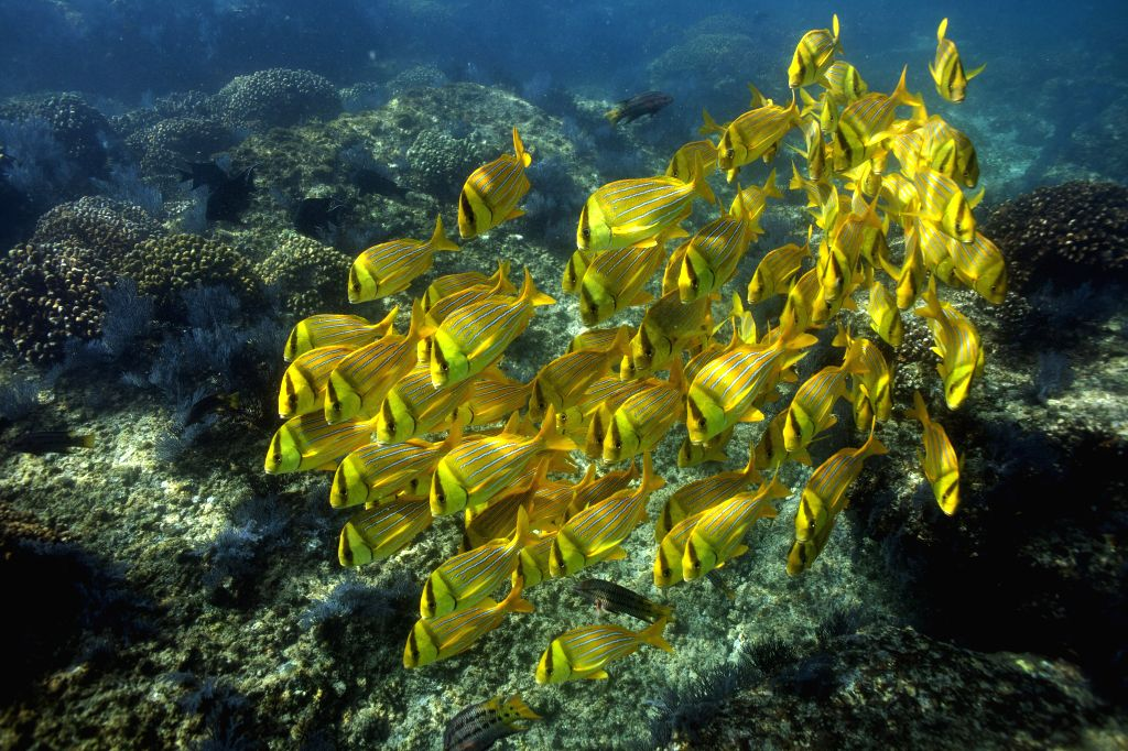 """Fishes known as """"striped burritos"""" swim in the sea of Cabo Pulmo National Park, in Los Cabos, Baja California, to the northwest of Mexico. ..."""
