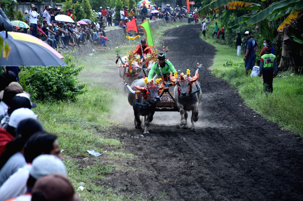 BALI, Oct. 24, 2016 - Jockeys spur buffalos during the Makepung buffalo races at Jembrana in Bali, Indonesia, Oct. 23, 2016. Makepung is a tradition for farmers to celebrate a bumper harvest in Bali.