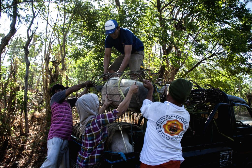 BALI, Sept. 28, 2017 - People living near Mount Gunung Agung try to evacuate their livestock in Karangasem district, Bali, Indonesia, on Sept. 28, 2017. The Indonesian Agriculture Ministry's Animal ...