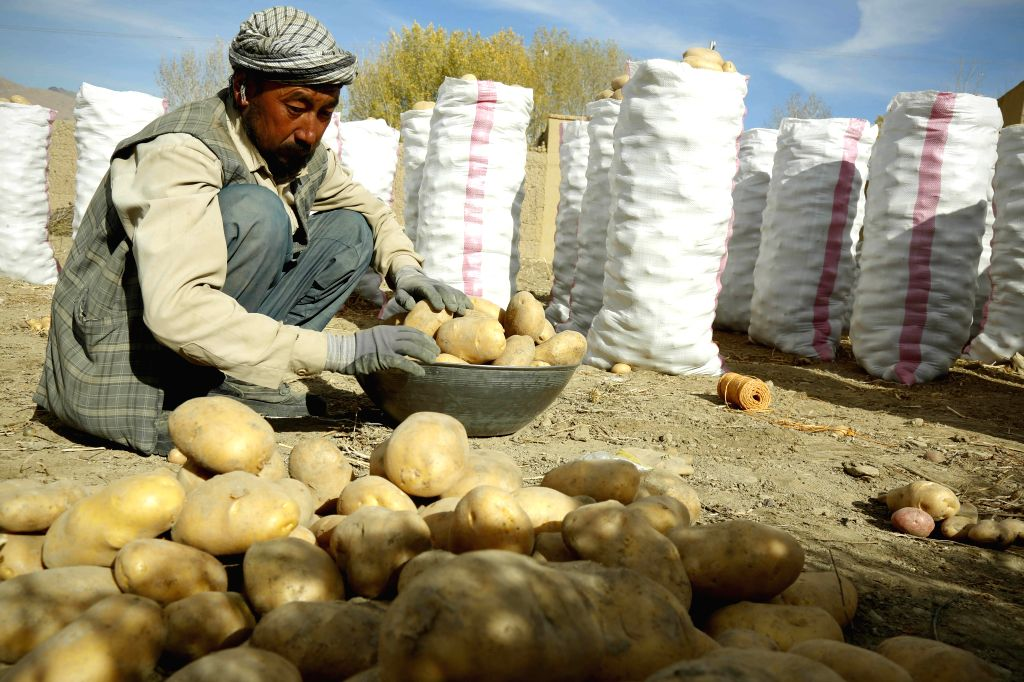 BAMYAN, Oct. 24, 2018 - An Afghan farmer works at a potato farm in Bamyan province, central Afghanistan, Oct. 23, 2018. The picturesque Bamiyan province with its beautiful landscape has been a ...