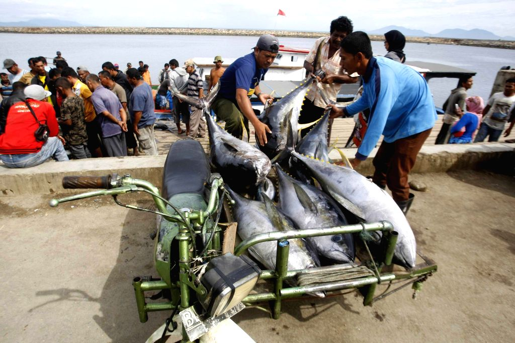 BANDA ACEH, Sept. 17, 2014 (Xinhua) -- Workers lift a yellowfin tuna fish to a motor tricycle at Lampulo port, Banda Aceh, Indonesia, on Sept. 17, 2014. Tuna products are the second biggest fishery product exports of Indonesia. (Xinhua/JunaidiIANS)