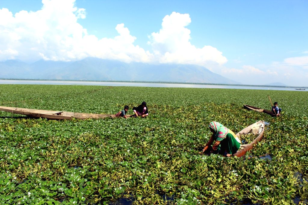 Bandipora: Farmers busy plucking water chestnuts from Wular Lake at Bandipora, in Jammu and Kashmir, on Aug 7, 2018. (Photo: IANS)