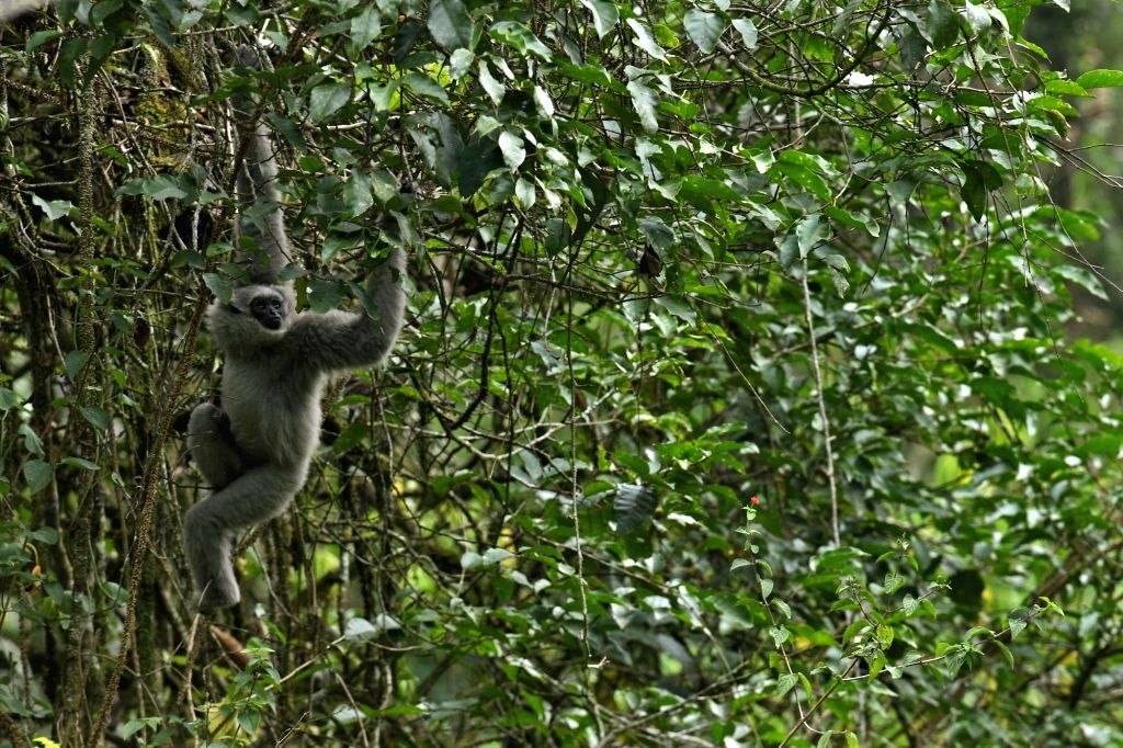 BANDUNG (INDONESIA), Oct. 5, 2017 A silvery gibbon (Hylobates moloch) is seen after being released in West Java, Indonesia, Oct. 5, 2017. The number of silvery gibbon continues to ...