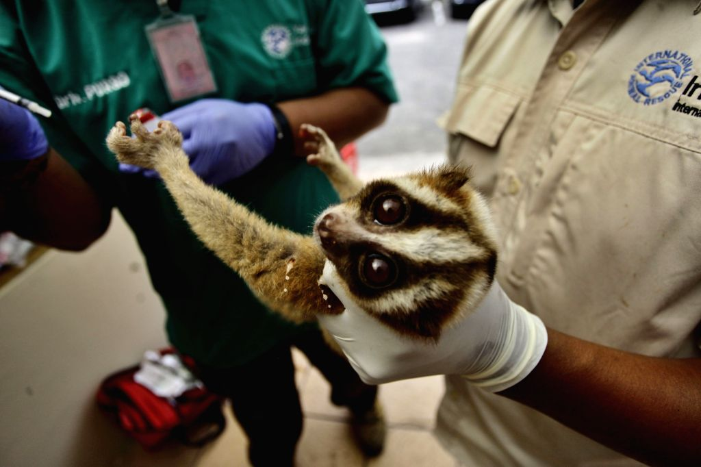 BANDUNG, Oct. 19, 2016 - A Javan slow loris receives medical treatment by doctors from International Animal Rescue (IAR) after being rescued from illegal smuggling in Bandung, Indonesia, on Oct. 18, ...