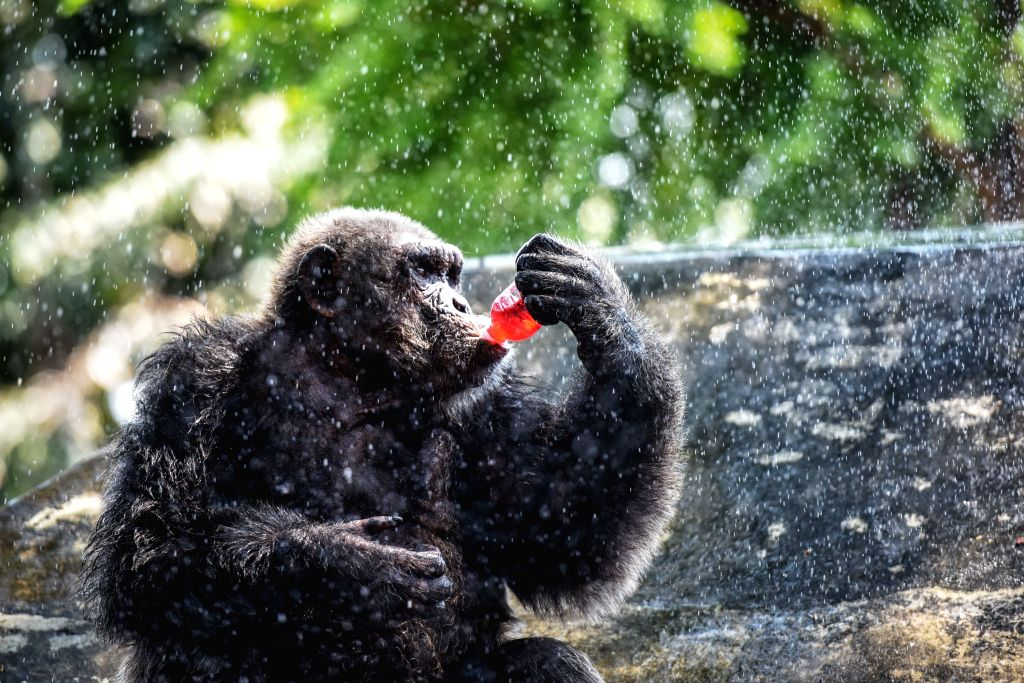 A gorilla drinks cold beverage while resting under artificial water spray at the Dusit Zoo in Bangkok, Thailand, April 22, 2015. Bangkok has been scorched by a ...
