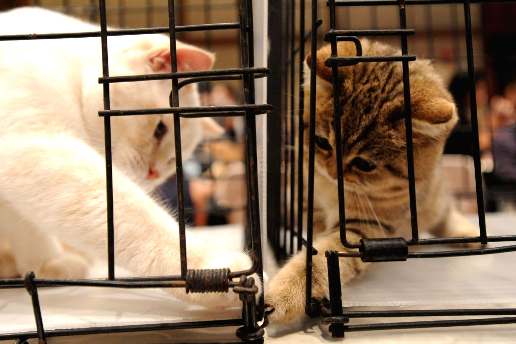Two cats play with each other during the 1st WCF (World Cat Federation) Thailand National Show at Queen Sirikit National Convention Center in Bangkok, Thailand, ...