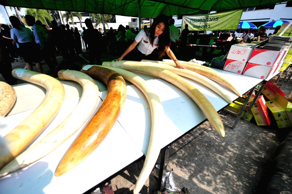 A Thai customs official displays seized elephant tusks smuggled from Belgium to Thailand during a press conference at the customs headquarters in Bangkok, ...