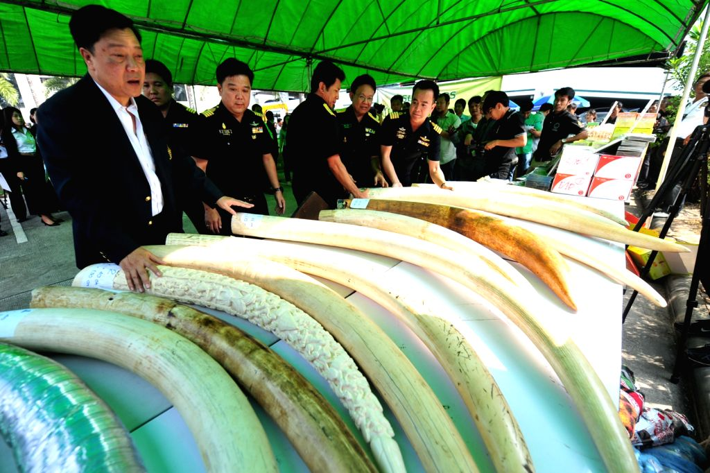 Thai customs officials display seized elephant tusks smuggled from Belgium to Thailand during a press conference at the customs headquarters in Bangkok, ...
