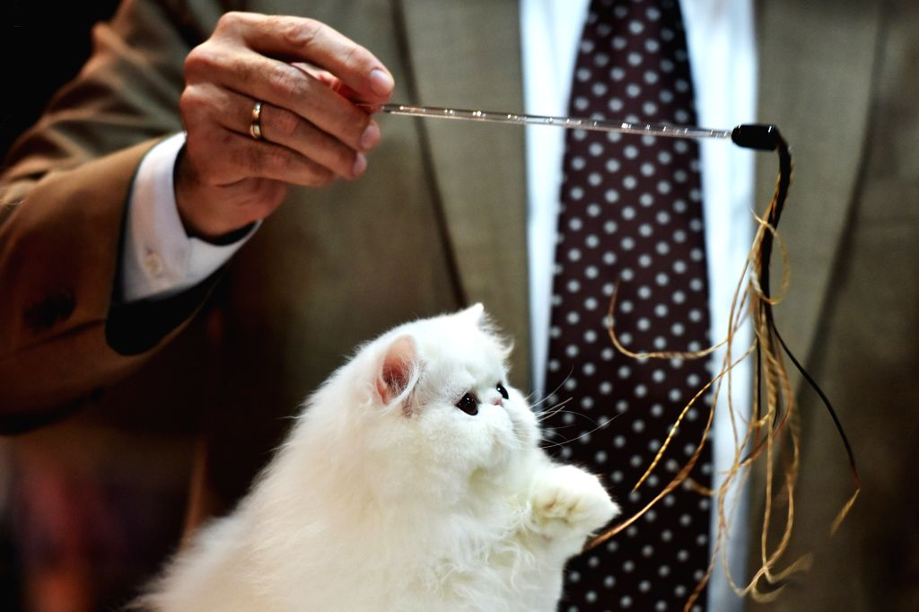 Photo taken on March 7, 2015 shows a cat during the 2015 Bangkok International Cat Competition in Bangkok, Thailand.