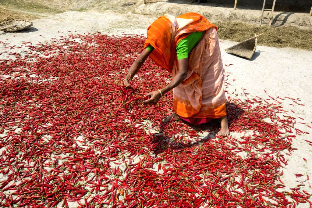 A woman dries red chilies out in  sun in Bangladesh on March 15, 2015.