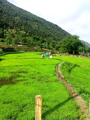 Basmati to saffron, cherry to strawberry - the story of peace and development in Kashmir