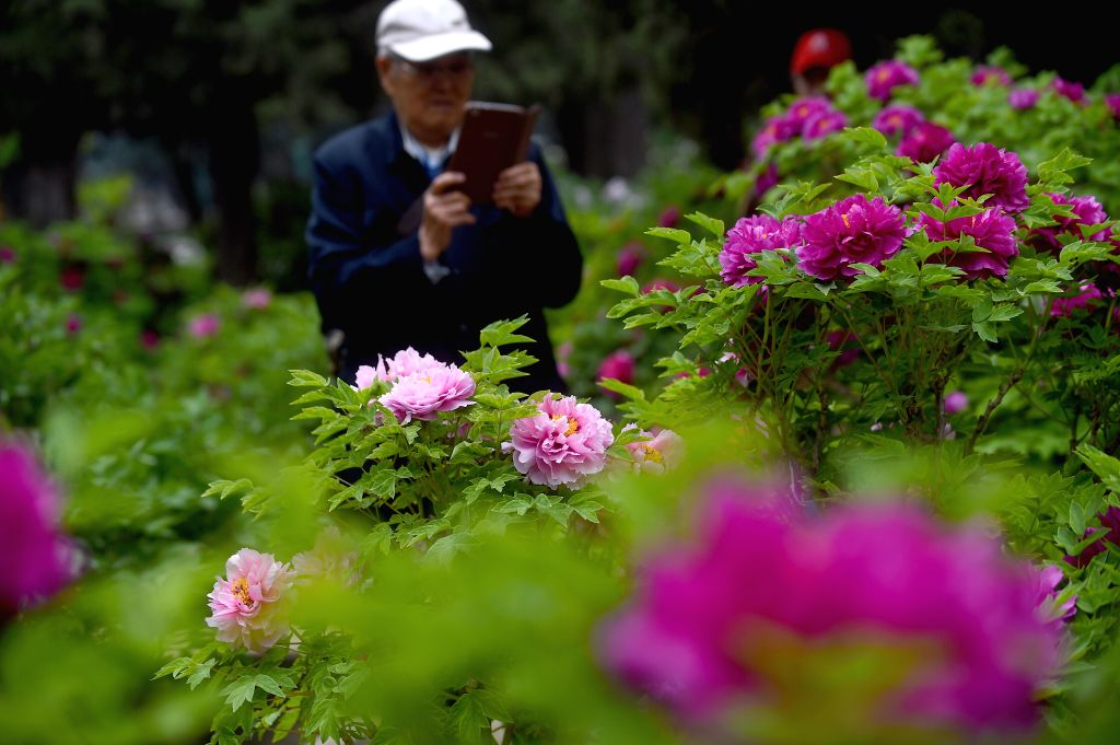 A visitor takes photos of peony flowers at the Beijing Working People's Culture Palace in Beijing, capital of China, April 15, 2014.  ...