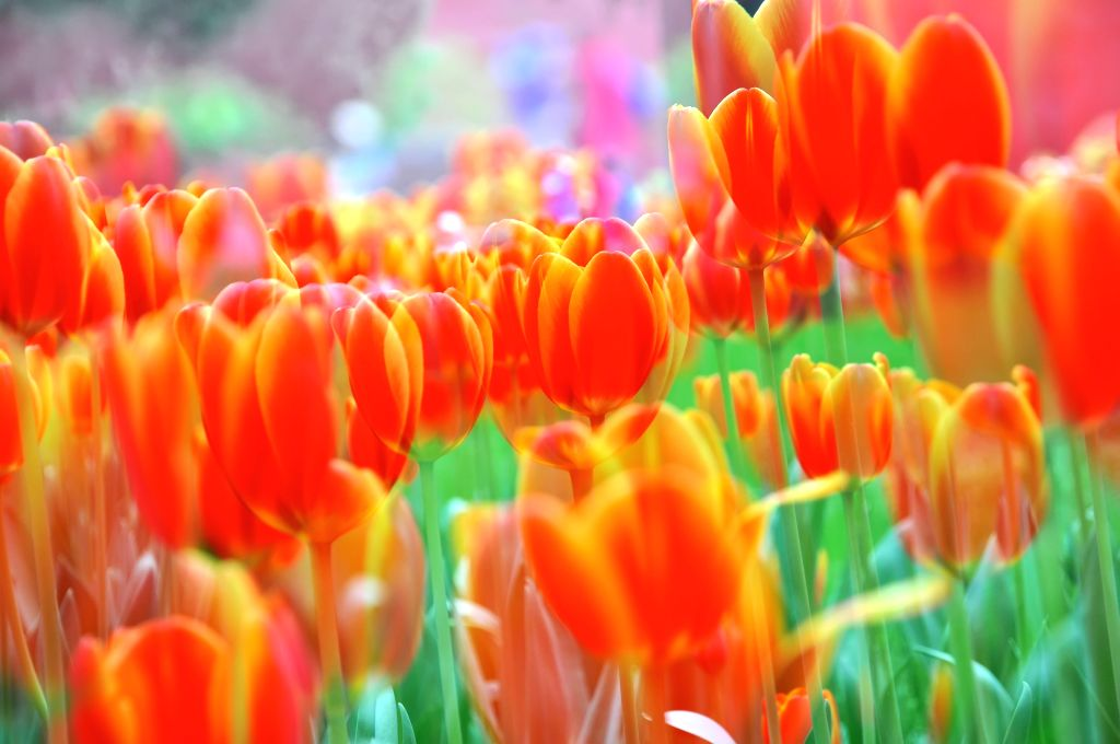 The multi-exposure photo taken on April 16, 2014 shows tulips at the Zhongshan Park in Beijing, capital of China. A tulip show is open to the public in April and ..