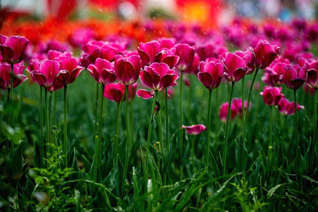Photo taken on April 24, 2014 shows the blooming tulips at the International Flower Port in Shunyi District of Beijing, capital of China. Millions of tulip flowers