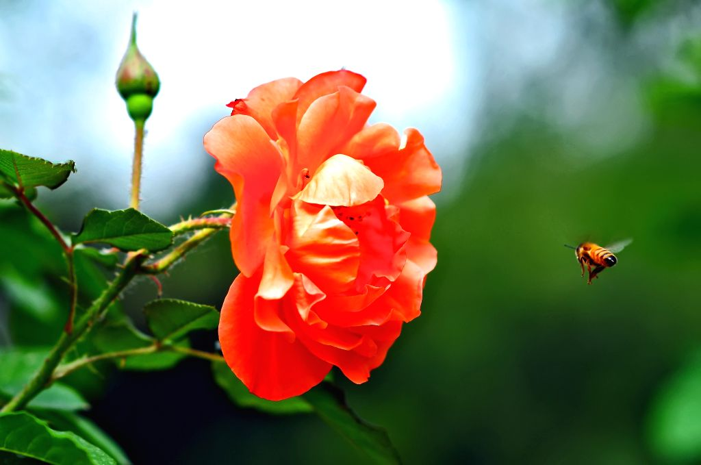 A bee flies to a Chinese rose at the Beijing Botanical Garden in Beijing, capital of China, May 15, 2014.