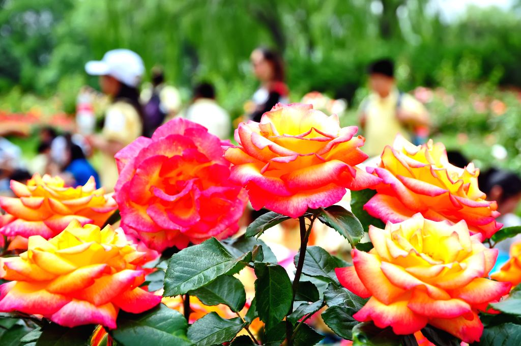 Tourists view Chinese roses during the Chinese rose cultural festival at the Beijing Botanical Garden in Beijing, capital of China, May 15, 2014. (Xinhua/Ma ...