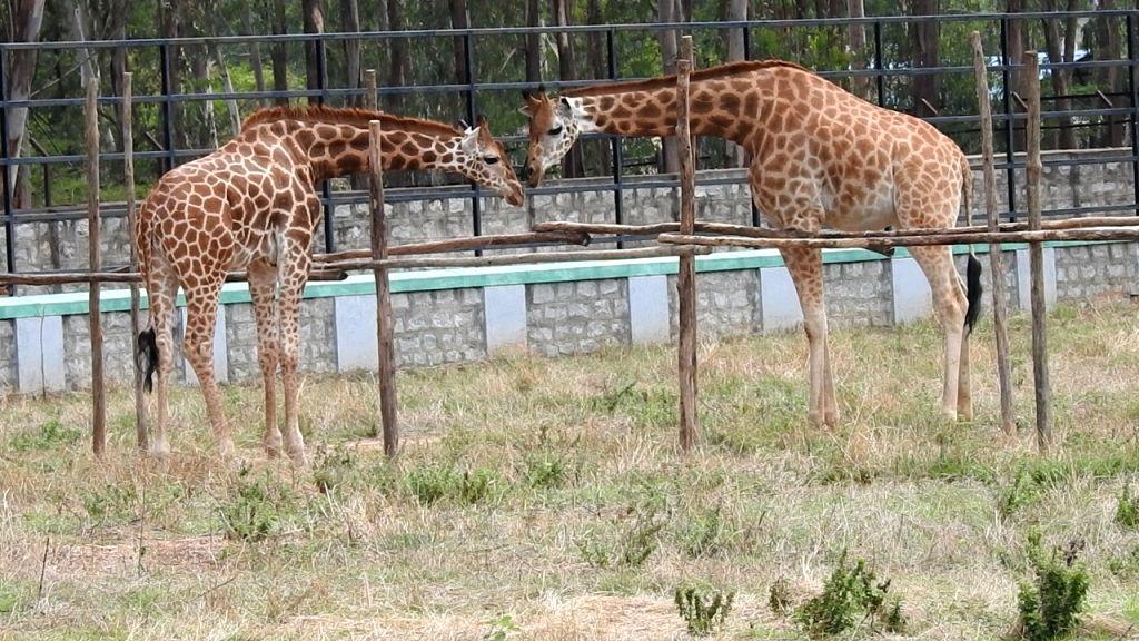 Bengaluru: A giraffe couple in Bengaluru Bannerghatta Biological park. (Photo: IANS)