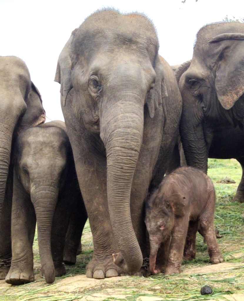 Bengaluru, Aug 1 (IANS) Amid the Covid-19 gloom across the world, a 12-year-old elephant at the Bengaluru Zoo gave birth to a male calf, increasing the number of jumbos in the zoo to 24, an official said on Saturday.