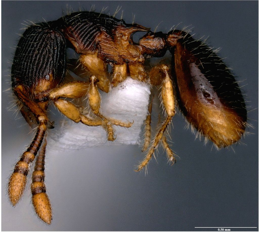 Bengaluru researchers discover two new species of ant, name after ATREE founder Kamaljit Bawa.