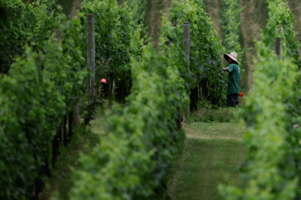 BENTO GONCALVES, Dec. 6, 2019 - Photo taken on Dec. 5, 2019 shows a view of a vineyard in Bento Goncalves, Brazil. The 55th summit of the South American trade bloc Mercosur (Southern Common Market) ...