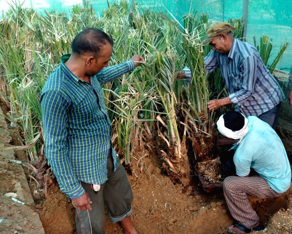 Bikaner : Workers shift the Date palms gifted by President of Palestine Mahmoud Abbas to Central Institute of Arid Horticulture (CIAH) Nursery in Bikaner, on April 18, 2016.
