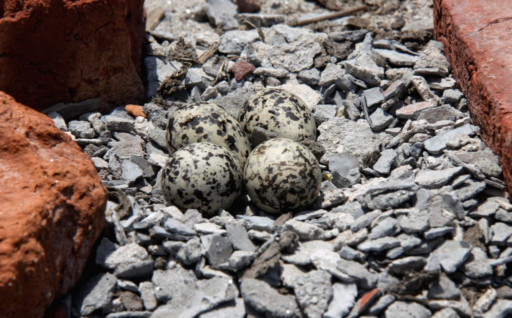 Bird sitting on her eggs in a small nest near Singhu border in New Delhi on Wednesday May 26, 2021
