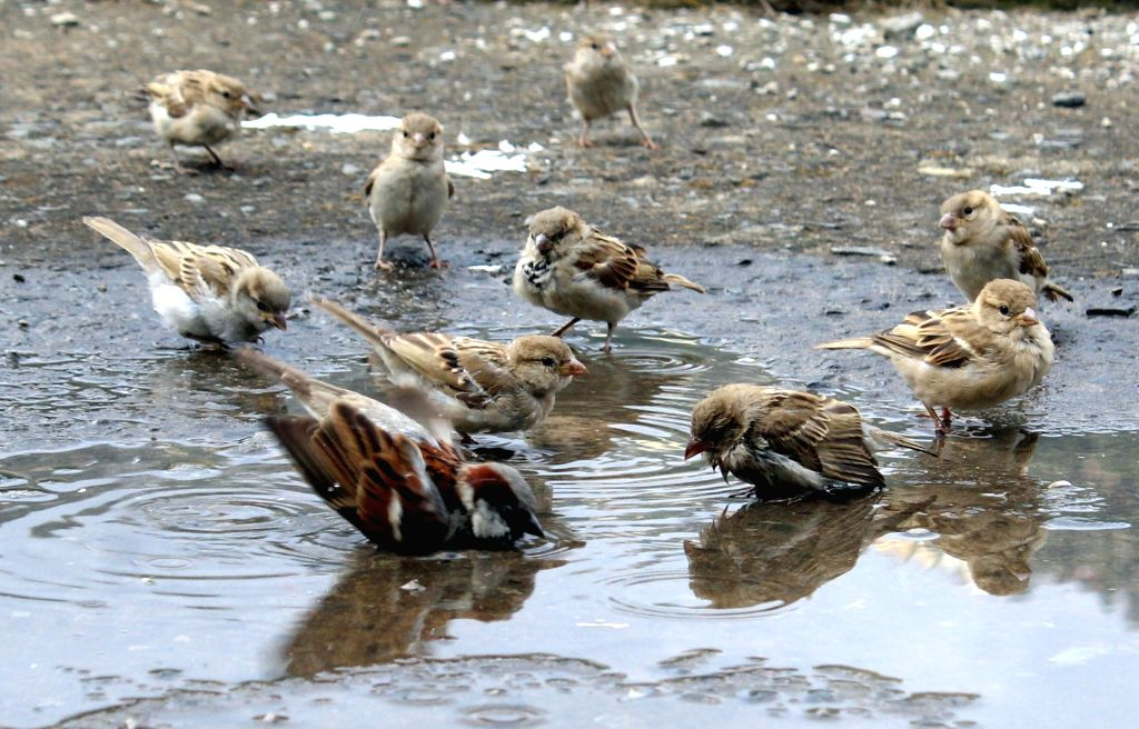 Birds beat the heat in a puddle of water formed after rains in Shimla on May 219, 2016.