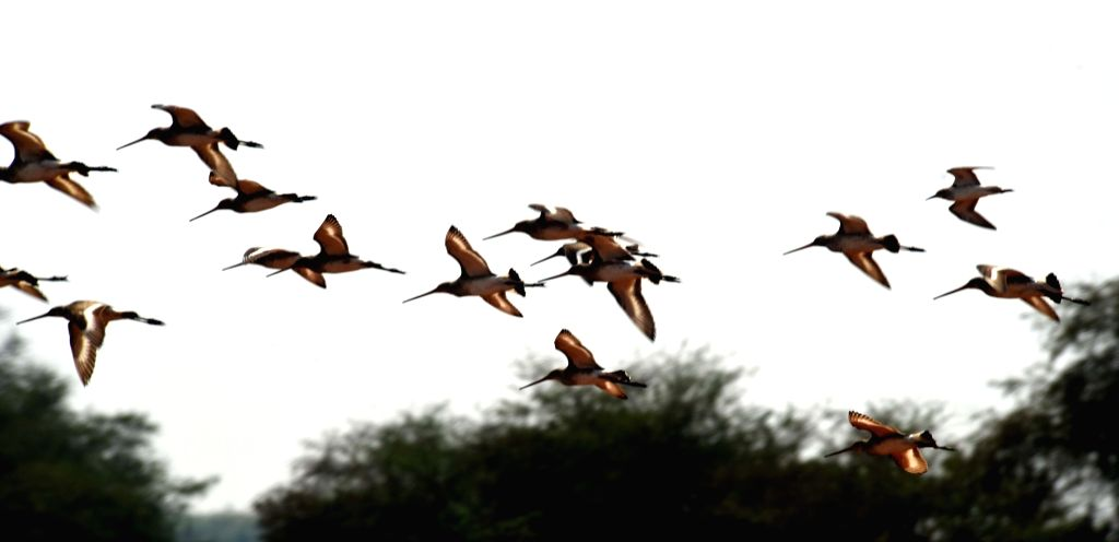 Black-tailed godwits fly at Mangalajodi wetland near Chilika Lake in Odisha on March 6, 2017. (Photo : Arabinda Mahapatra/IANS)