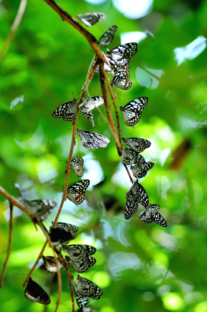 Black with blue dotted Butterflies on a plant at Lalbhag in Bengaluru on 2nd of February 2013.