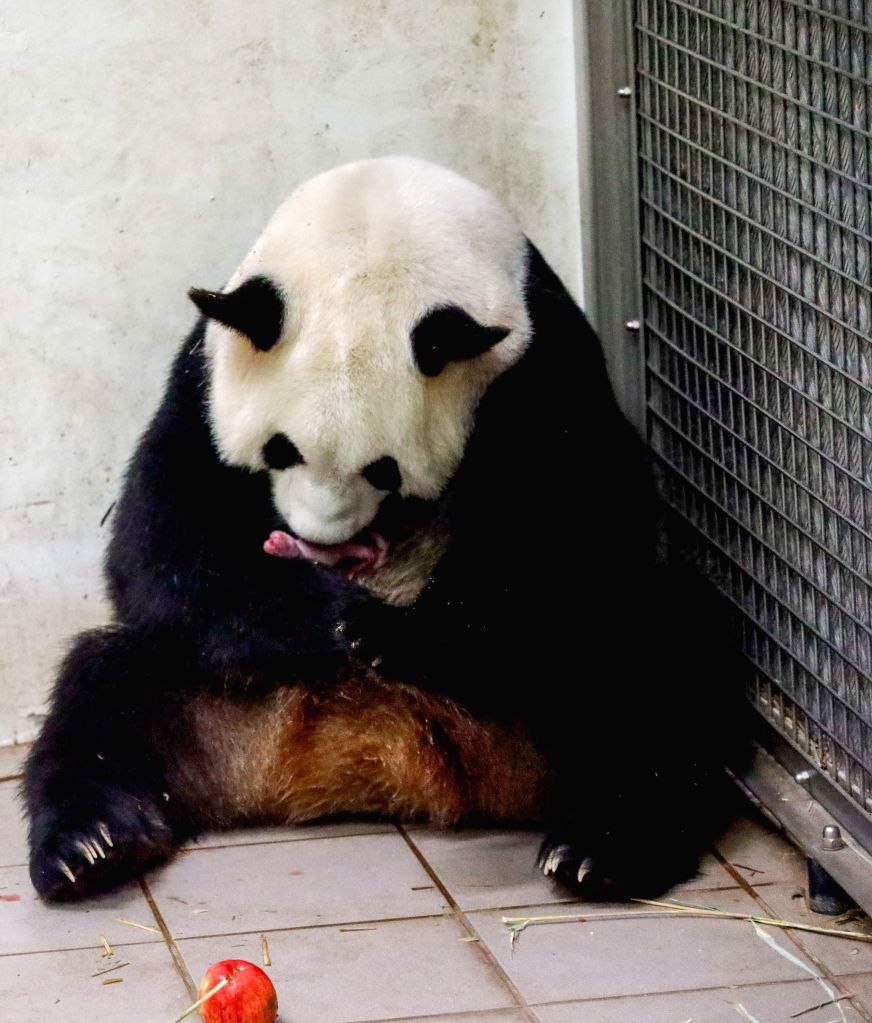 BRUGELETTE (BELGIUM), Aug. 9, 2019 Giant panda Hao Hao takes care of her new-born cub at Pairi Daiza zoo in Brugelette, Belgium, on Aug. 8, 2019. Pairi Daiza, a zoo in Brugelette in west ...